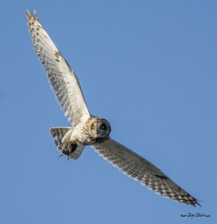 short eared owl with a vole