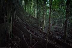 radiation (dustaway) Tags: radiation roots buttressing moraceae ficusmacrophylla moretonbayfig rotaryparkrainforestreserve rprr dryrainforestsubtype nature northernrivers lismore nsw australia arfp nswrfp qrfp subtropicalarf dryarf littoralarf