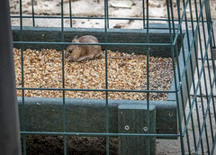 Mouse Caught in Daylight Robbery (Anguskirk) Tags: birdfeeder cage daytime england mouse mus souris uk birdfood ground