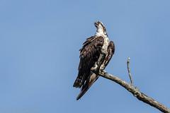 Osprey (jwfuqua-photography) Tags: peacevalleynaturecenter jwfuquaphotography jerrywfuqua pennsylvania buckscountyparks buckscounty nature osprey
