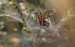Labyrinth Spider (Agelena labyrinthica)