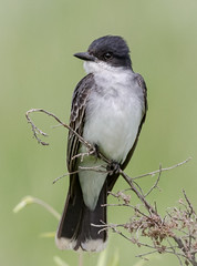 Eastern Kingbird (tresed47) Tags: 2018 201806jun 20180607bombayhookbirds birds bombayhook canon7d content delaware folder june kingbird peterscamera petersphotos places season spring takenby us ngc