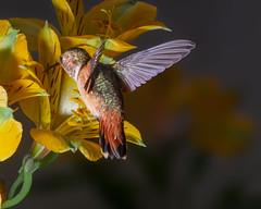 Backside View! (Patricia Ware) Tags: 500mmf4lisusm allenshummingbird alstroemeria backyard birdsinflight california canon manhattanbeach multipleflash selasphorussasin tripod ©2018patriciawareallrightsreserved specanimal