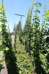 Hop Plants