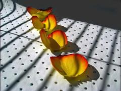 Butterflies (losy) Tags: butterflies petals rosepetals dots stripes kitchenproduction losyphotography