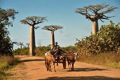 Baobabs and Cart (Rod Waddington) Tags: africa african afrique afrika madagascar malagasy baobabs cart animals cattle people family road traditional tribe tribal culture cultural ethnic ethnicity nature trees cows