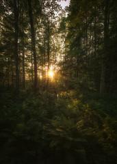 Saniaiset (petrisalonen) Tags: trees forest finland nature summer sunset sunlight light sunshine sun landscape green yellow orange flickr leafs metsä saniainen natural eos canon6d canon1635mmf4