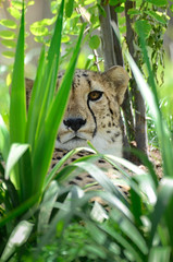 Je le vois ton œil (Scholt's) Tags: guépard cheetah felin félin felini bigcat nikon d7000 zoo beauval france green nature eyes animal pet