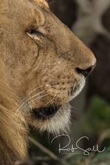 Lion Closeup (robsall) Tags: 2016 500mm 7dmark2 7dmarkii 7dm2 7dmii africa africatourism africawildlifephotography africanwildlife big bigcat bigcats canon canon500mmf4lisiiusm canon500mmf4 canon500mmf4lii canon500mmf4ii canon7dmark2 canon7dmarkii canon7d2 canon7dm2 canoneos canoneos7dmark2 canoneos7dm2 carnivore cat endangered family feline largefelines lion lioness lions mammal pantheraleo predator robsallaeiral robsalldrone robsalldronephotography robsallphotography robsallwildlifephotography tanzania tanzania2016 vacation vulnerable mararegion