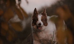 One day in Autumn (A child in the night) Tags: bordercollie red sheepdog luke portrait fall autumn england cheshire