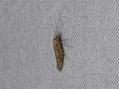 Plutella xylostella (dhobern) Tags: 2018 china lepidoptera march xtbg xishuangbanna yunnan plutellidae plutellinae plutellaxylostella