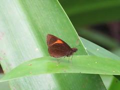 Celaenorrhinus ladana (dhobern) Tags: 2018 china march xtbg xishuangbanna yunnan lepidoptera hesperiidae celaenorrhinusladana pyrginae