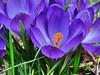 Krokusfamilie (W@llus2010) Tags: krokus nahaufnahme violet
