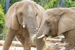 _MGL8086.jpg (shutterbugdancer) Tags: chimpanzee kamba gypsy tendaji lion lemur elephant adhama dallaszoo zoo animals boipelo hippos giraffe reticulatedgiraffe gorilla congo jenny
