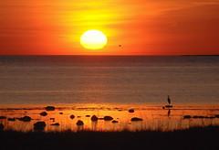 Sunset (RdeUppsala) Tags: gotland sweden suecia sverige sunset sun solnedgång sea sky seascape sol atardecer mar paisaje primavera pájaros aves garza gaviota seaside kust cielo costa coast baltic naturaleza nature natur östersjön vår spring hav