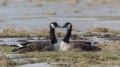 Canada goose I Kanadanhanhi (Eija Fogelholm) Tags: brantacanadensis canadagoose kanadanhanhi