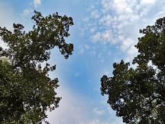 Trees, Sky And Clouds (dccradio) Tags: whiteoak nc northcarolina bladencounty tree trees foliage greenery sky branch branches treebranch treebranches nature natural wooded woods forest harmonyhall harmonyhallplantation park museum canon powershot elph 520hs