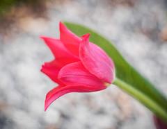 Harlekin (Karsten Gieselmann) Tags: 75mmf18 blumen blüten bokeh dof em5markii frühling grün jahreszeiten mzuiko microfourthirds natur olympus pflanzen rot schärfentiefe textur tulpe blossom flower green kgiesel m43 mft nature red seasons spring texture tulip burglengenfeld bayern deutschland
