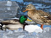 Will winter ever end? (ET's Photo Home) Tags: mallards ducks ice lakemichigan milwaukee wisconsin nature winter cold birds