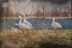 Spring Migration (garywitte845) Tags: lessersnowgeese bird waterfowl texture framed pixlr iowa saccounty lakeview nature