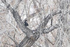 Wood Duck (Boulder Flying Circus Birders) Tags: woodduck aixsponsa woodduckcolorado woodduckboulder wildbirdboulder wildbirdcolorado wildbirdcompany formerwildbirdcenter notwildbirdsunlimited birdseed birdwalk saturdaymorningbirders cranehollowrd hygiene colorado nealzaun