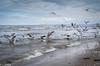 Möwen am Strand von Ahlbeck (Insel Usedom) (cf771) Tags: ahlbeck animalpet deutschland duck ente enten mecklenburgvorpommern möwe pentaxdahd35mm28macrolimited tiere usedom
