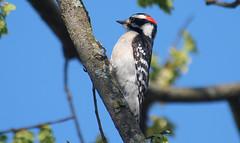 Downies Everywhere (Kaptured by Kala) Tags: woodpecker whiterocklake dallastexas sunsetbay closeup maledownywoodpecker downywoodpecker malewoodpecker picoidespubescens eyelevel sunshine