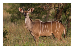 2018 02 01_Kudu-1 (Jonnersace) Tags: kudu tragelaphusstrepsiceros mammal horns stripes koedoe wild animal krugernationalpark southafrica wildwingssafaris canon canon7dii canon100400ii