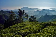 Cameron Highlands - Boh Tea Plantation 20 (luco*) Tags: malaisie malaysia cameron highlands boh tea plantation thé montagne hills collines arbres trees brume brouillard mist matin morning paysage landscape flickraward flickraward5