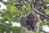 Social Flycatcher (steve happ) Tags: elretiroresort guatemala lanquin myiozetetessimilis socialflycatcher