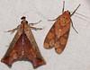 Snout Moth (Pyralidae, Chrysauginae, Id ?) and Arctiid Moth (Id ?) (berniedup) Tags: belizon roura guyane snoutmoth pyralidae chrysauginae arctiinae