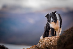 13/52 The Sundance Kid above Ennerdale (JJFET) Tags: 13 52 weeks for dogs border collie sheepdog dog mountain