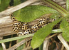16 Spot Ladybirds (Prank F) Tags: titchmarshlnr wildlifetrust northantsuk wildlife nature beetle ladybird ladybug insect macro closeup 16spot tytthaspis16punctata
