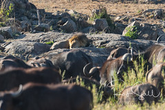 Lion Surrounded by Buffalo for a Nap (robsall) Tags: 14xiiitc 14xtc 2016 50014x 7dmark2 7dmarkii 7dm2 7dmii africa africatourism africawildlifephotography africanbuffalo africanwildlife big bigcat bigcats buffalo canon canon500mmf4lisiiusm14xiii canon500mmf414x canon500mmf4ii14xiii canon7dmark2 canon7dmarkii canon7d2 canon7dm2 canoneos canoneos7dmark2 canoneos7dm2 capebuffalo carnivore cat endangered family feline largefelines lion lioness lions mammal pantheraleo predator robsallaeiral robsalldrone robsalldronephotography robsallphotography robsallwildlifephotography synceruscaffer tanzania tanzania2016 teleconverter vacation vulnerable mararegion