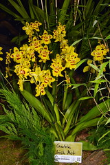 Oncidium Hybrid Yellow Ne (Nurelias) Tags: beautiful color colorful d7100 nikon fleur flora flore flores flower flowers forest macro makro orchid orchidaceae orchidales orchidee orchideen orchids orquidea photography rainforest tropical exhibition international dresden