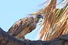 African White-backed Vulture (Gyps africanus) Африканский гриф (Mikhail & Yana) Tags: africanwhitebackedvulture gypsafricanus африканскийгриф vulture samburunationalpark kenya birdsofkenya bird wildlife outdoor nature
