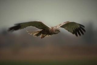 Marsh Harrier  (Circus aeruginosus) Dungeness RSPB