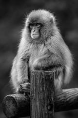 Japanese Macaque #1 (Fab Photographe) Tags: japanese macaque snow monkey nagano shiga kogen japan asia zeiss ze nature animal aposonnart2135