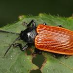 Leaf beetle, Prosopodonta sp., Hispinae thumbnail