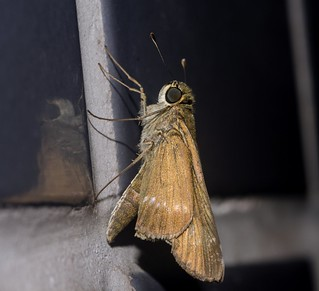 Panoquina cf. ocola ocola - Ocola Skipper / Long-Winged Skipper (W.H. Edwards, 1863)