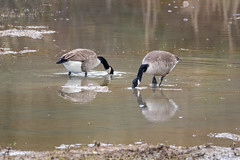 Canada Geese  -  Kanadagans (CJH Natural) Tags: lenstagger canadageese kanadagans goose geese gans reflection shadow sun water pond lake nature wildlifephotography naturephotography light licht wild natur wildlife bird vogel avian birding birder birdwatching twitching twitcher rspb beauty beautiful lovely fantastic wonderful pose nikon nikond500 nikkor200500mm 200500 edvr 200500edvr