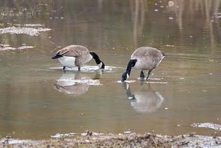 Canada Geese  -  Kanadagans