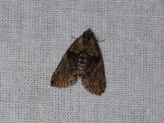 Erebidae sp. (dhobern) Tags: 2018 china lepidoptera march xtbg xishuangbanna yunnan erebidae