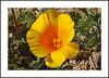 Nine Mile Canyon Wildflowers (AussieinUSA) Tags: inyocounty california 2018wildflowers 2018 wildflowers ninemilecanyon californiapoppy eschscholziacalifornica ninemilecanyonrd