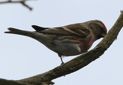Red Poll or Linnett 8 4 2018 Pye Green (4) (Hednesford8) Tags: red poll linnet