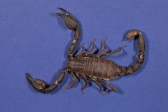 Scorpion stacked, Los Gatos, CA 20180324-101.jpg (maholyoak) Tags: ca california scorpions losgatos