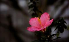 flower 1366 (kaifudo) Tags: sapporo hokkaido japan botanicalgarden flower hibiscus hokkaidouniversity 札幌 北海道 北大植物園 ハイビスカス nikon d810 nikkor afs 105mmf14eed 105mm