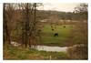 To Look For America (6/ ) (Robert Drozda) Tags: washington cow creek bovine train motion coaststarlight ttw pastoral rural farm ranch cattle bucolic amtrak drozda