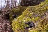 Southern Ravine Salamander (Plethodon richmondi) (David A. Burkart) Tags: southern ravine salamander plethodon richmondi leecounty virginia usa amphibian herp nature appalachian cumberland mountain