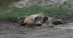 Tim The Seal! (frisiabonn) Tags: seal animal marine river tees water cute uk england teeside redcar nature